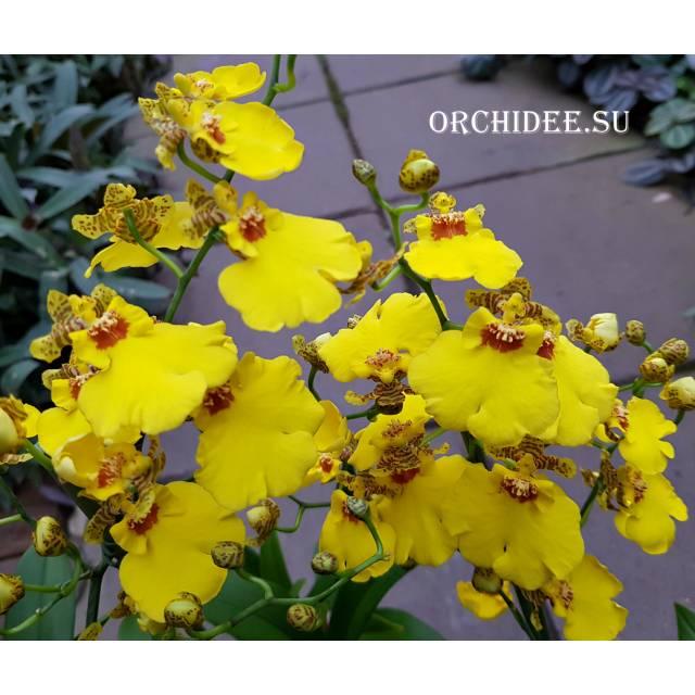 Oncidium Munsterland