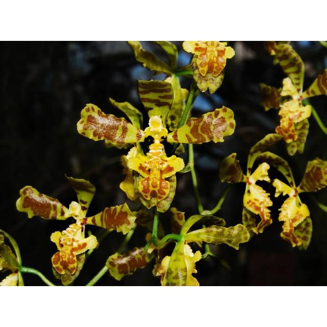Baptistonia leinigii (Oncidium leinigii)