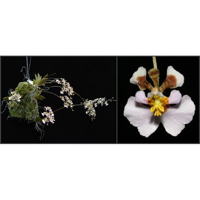 Oncidium variegata
