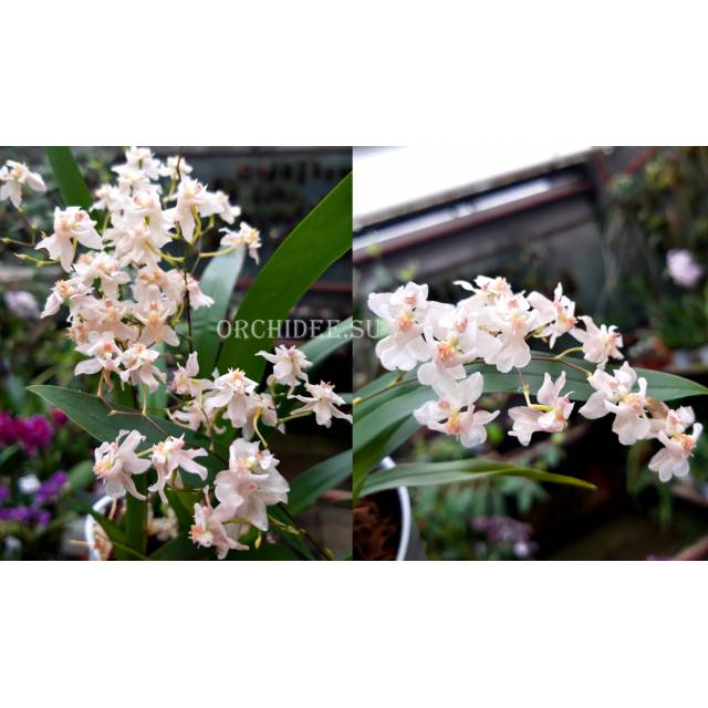 Oncidium Tiny Twinkle 'White-Light Pink'