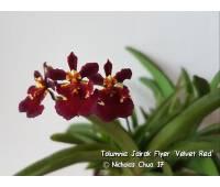 Tolumnia Jairak Flyer 'Velvet Red'