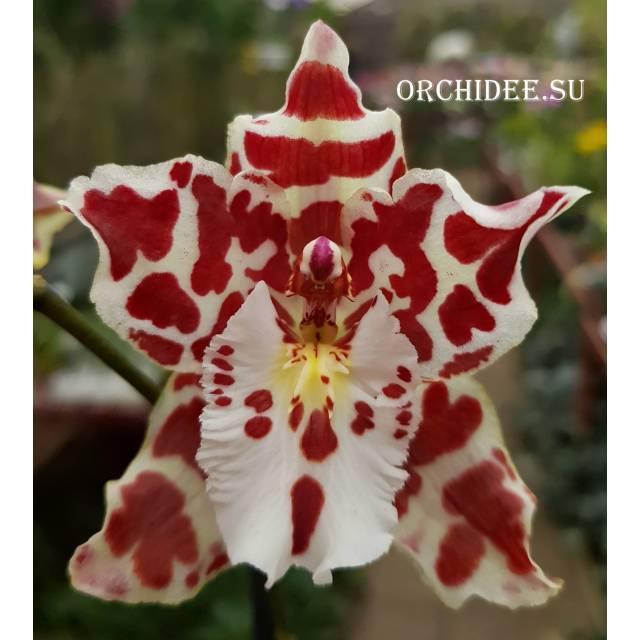 Odontocidium Tropic Drop