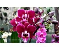 Phalaenopsis PHM 031/1 Cranberry Cha Cha