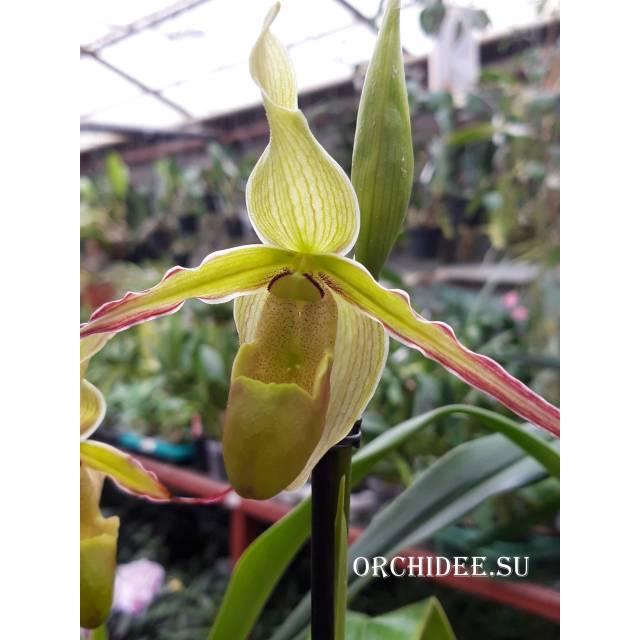 Phragmipedium Urgandiae 'Duke's Royal'