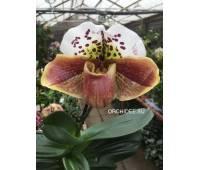 Paphiopedilum American hybrid 009