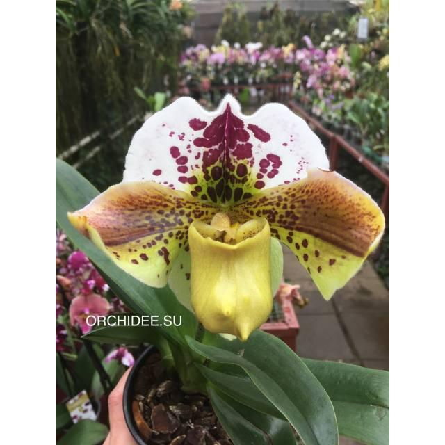 Paphiopedilum American hybrid 008