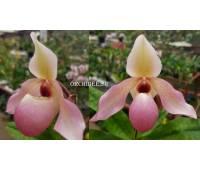 Paphiopedilum Delophyllum