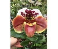 Paphiopedilum American hybrid 010