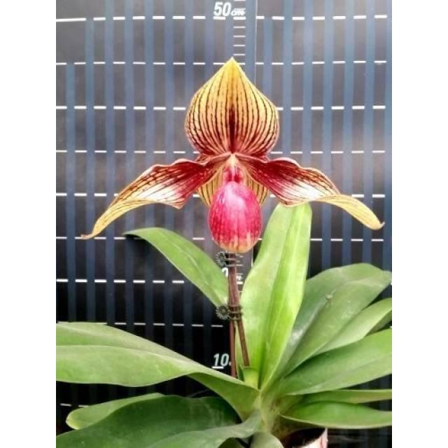 Paphiopedilum hangianum × rothschildianum