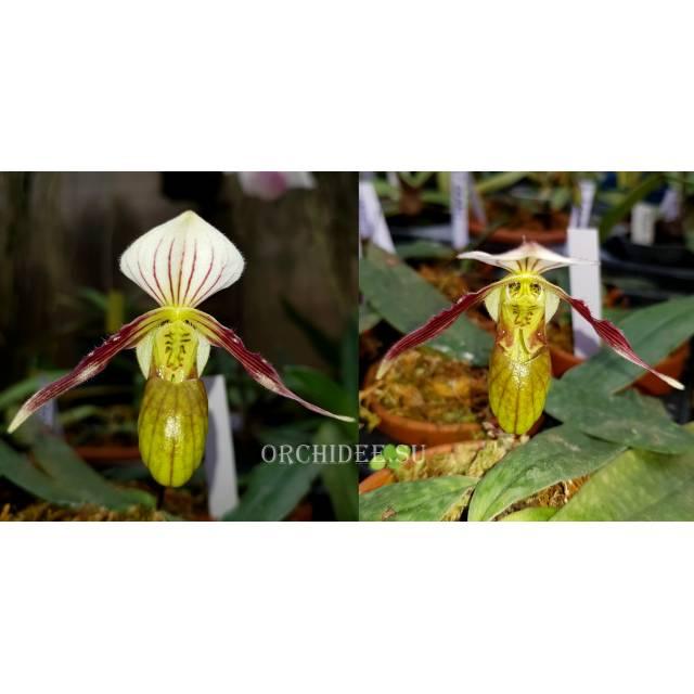 Paphiopedilum canhii