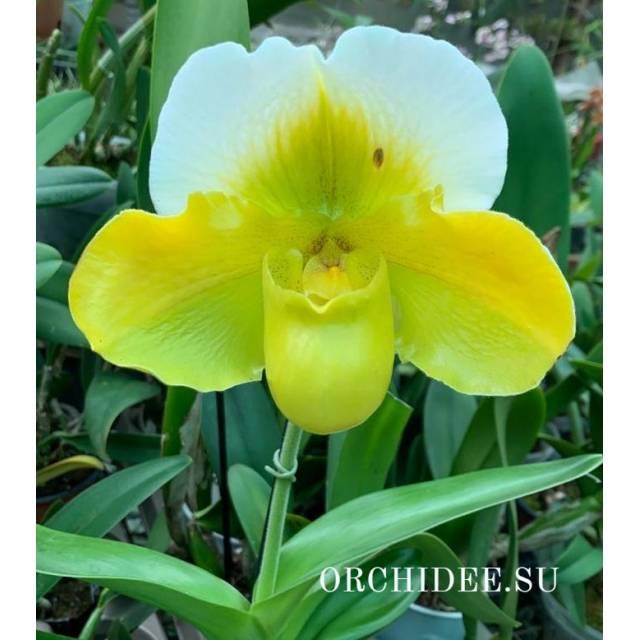 Paphiopedilum American hybrid 011