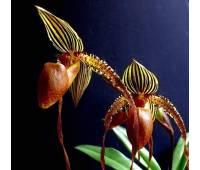 Paphiopedilum Formosa Lady x sib