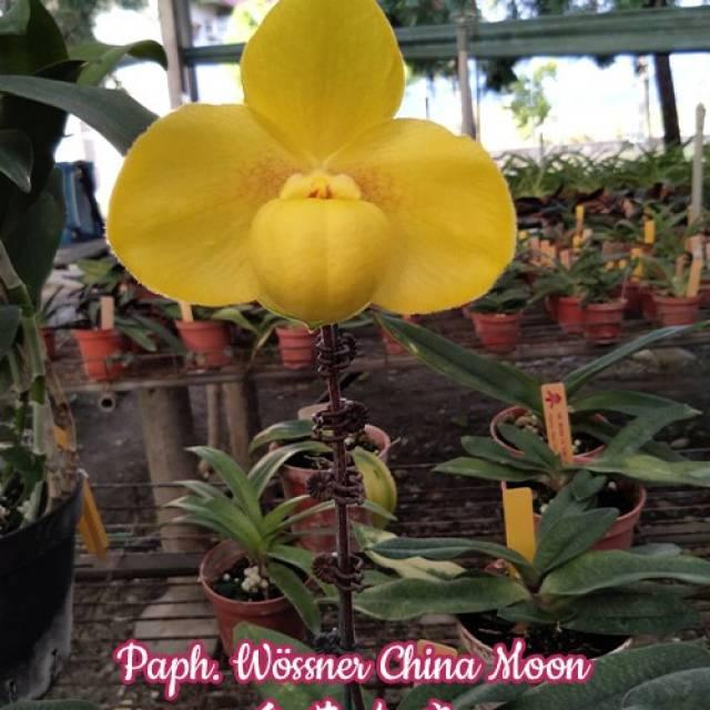 Paphiopedilum Wossner China Moon (hangianum x armeniacum)