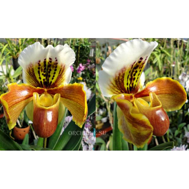 Paphiopedilum American hybrid 004