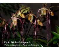Paphiopedilum Michael Koopowitz