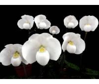 Paphiopedilum niveum 'Winter Sun' x 'Siam Snow'