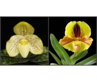 Paphiopedilum concolor x Lippewunder