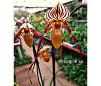 Paphiopedilum St. Swithin (rothschildianum x philippinense)