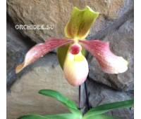 Paphiopedilum Hung Sheng Knight (moquetteanum x hangianum)