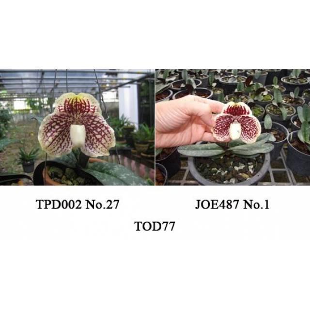 Paphiopedilum leucochilum TOD77