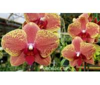 Phalaenopsis PH 005 KV Charmer 'Zhen 5702'