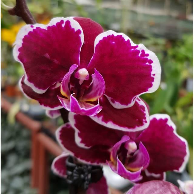 Phalaenopsis PHM 031/1