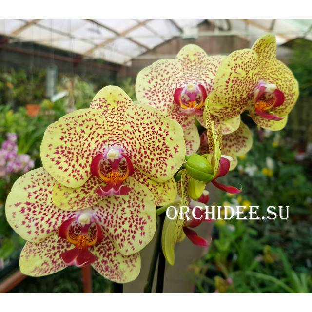 Phalaenopsis PH 049 Fancy Freckles