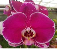 Phalaenopsis PH 084 OX Spot Queen 'OX 1460' AM/AOS
