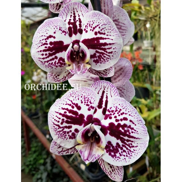 Phalaenopsis PH 121