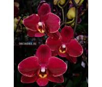 Phalaenopsis PH 189 Ola
