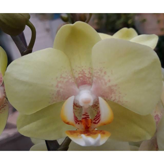Phalaenopsis PH 197 Golden Jaguar