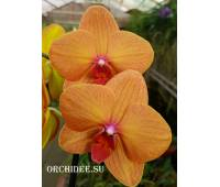 Phalaenopsis PH 202 Golden brick