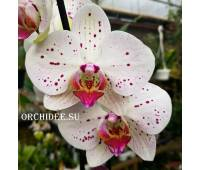 Phalaenopsis PH 207