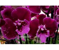 Phalaenopsis PH 213 Big Lip