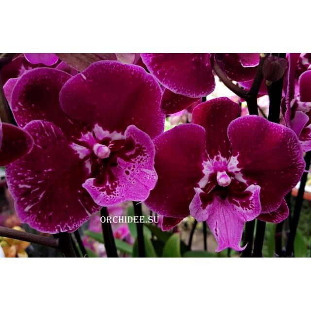 Phalaenopsis PH 213 Big Lip