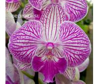 Phalaenopsis PH 235 Big Lip