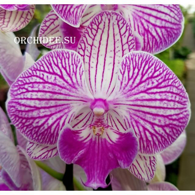 Phalaenopsis PH 235 Big Lip