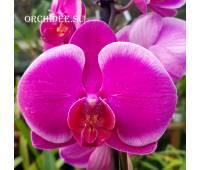 Phalaenopsis PH 246 Joyride