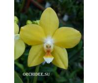 Phalaenopsis PHM 266 Artisto Geel