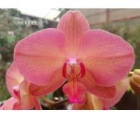 Phalaenopsis PH 296