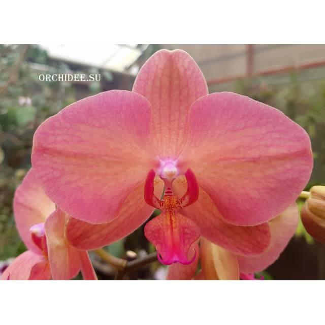 Phalaenopsis PH 296