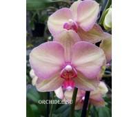 Phalaenopsis PH 311 Rainbow