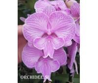Phalaenopsis PH 312 Big Lip