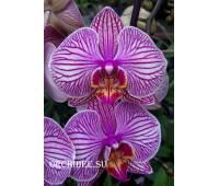 Phalaenopsis PH 313 Jupiter