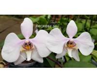 Phalaenopsis amabilis 'Surabaya'