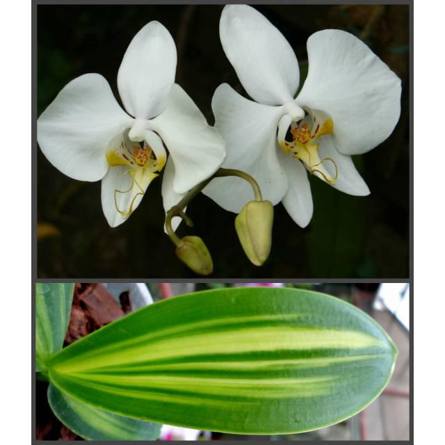 Phalaenopsis amabilis inner variegated