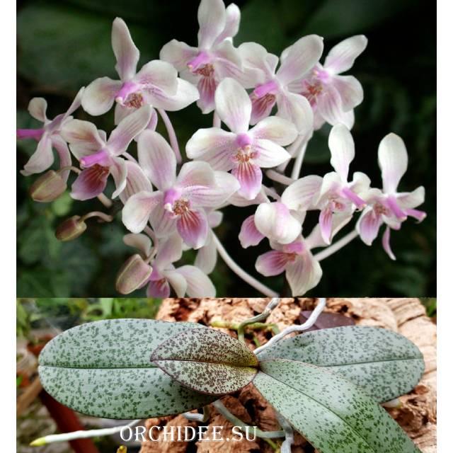 Phalaenopsis Cellinde