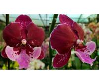 Phalaenopsis Chia Shing Hot Kiss '256'