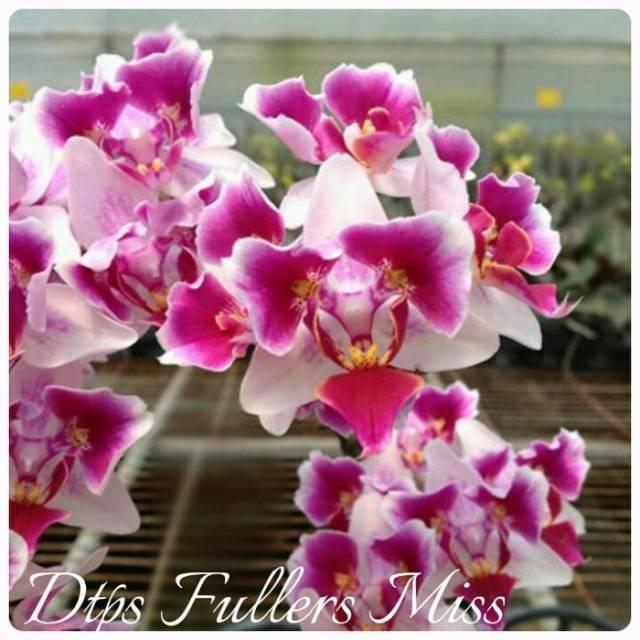 Doritaenopsis Fullers Miss