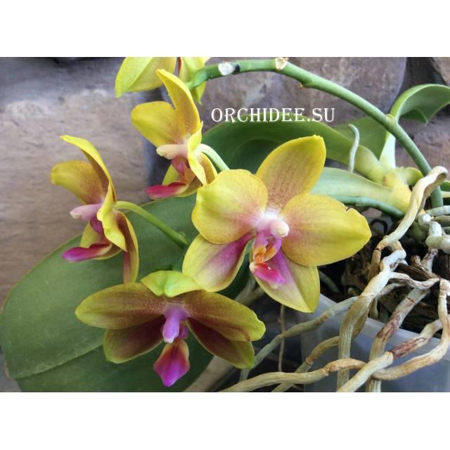 Doritaenopsis Sogo Meili x Phalaenopsis Ld's Bear Queen